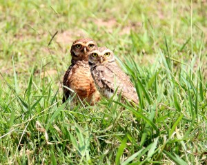 2 owls in field